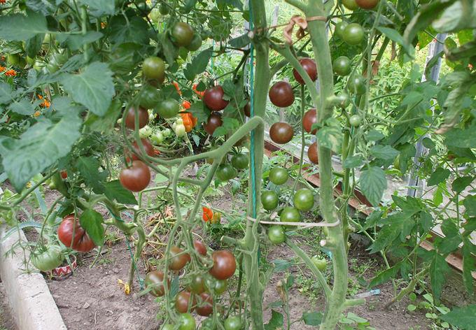 Asmeninio archyvo nuotr. / Black Cherry pomidorų veislė