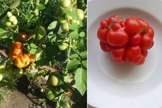 Asmeninio archyvo nuotr. / Reisetomato pomidorų veislė