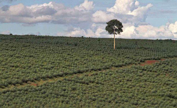 Evelinos ir Karolio nuotr. /Sesau plantacija. Augalai naudojami virvėms ir krepaiams daryti