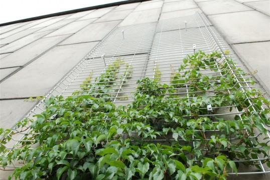 Priešais Geležinio Vilko tunelį pasodinti vijokliai po 5 metų sukurs žalią kilimą