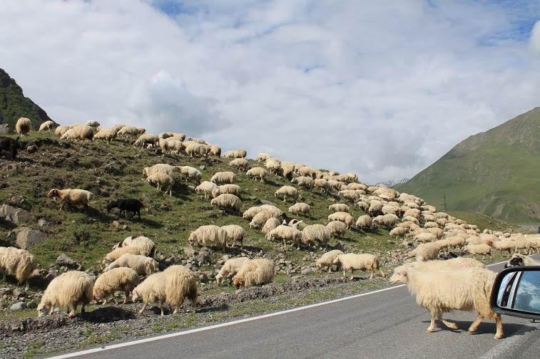 Avių laisvė