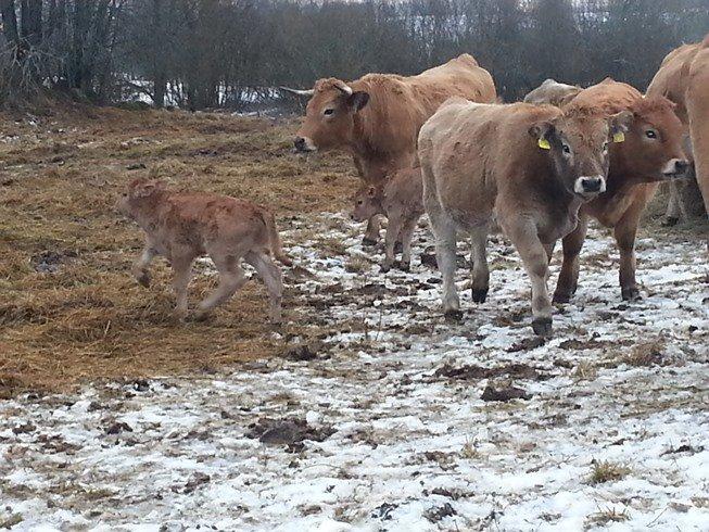 Ilzenbergo ūkis didžiuojasi didėjančia aubrakų banda