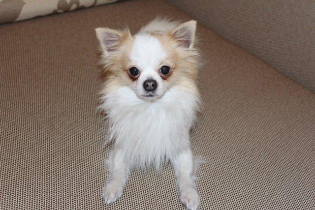 Rastas Čihuahua (Chihuahua) Kaune