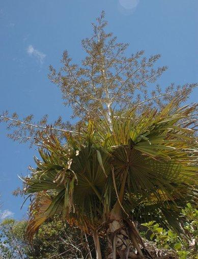"""Vikipedijos nuotr./""""Savižudės"""" palmės"""