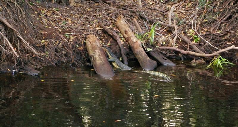Viktorijos Panovaitės nuotr./Vienas iš upės gyvių – vietinis driežas.