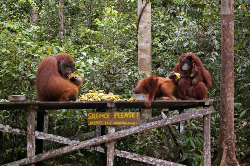 Ne visi orangutanai drįsta puotauti kartu su gaujos patinu