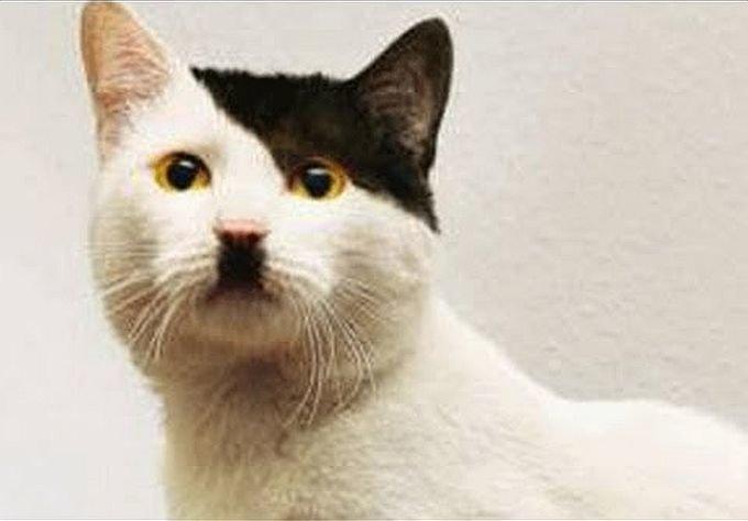 Į Adolfą Hitlerį panaši katė