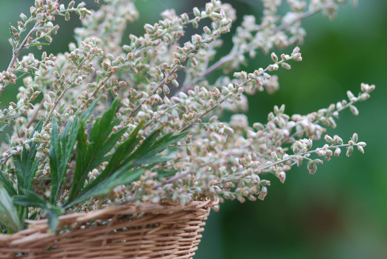 vaistinis augalas nuo hipertenzijos)