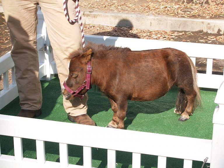 Thumbelina – mažiausias pasaulio arklys. (Philkon, Wikimedia)