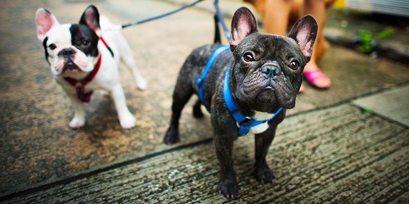 10 patarimų norintiems įsigyti mažos veislės šunį