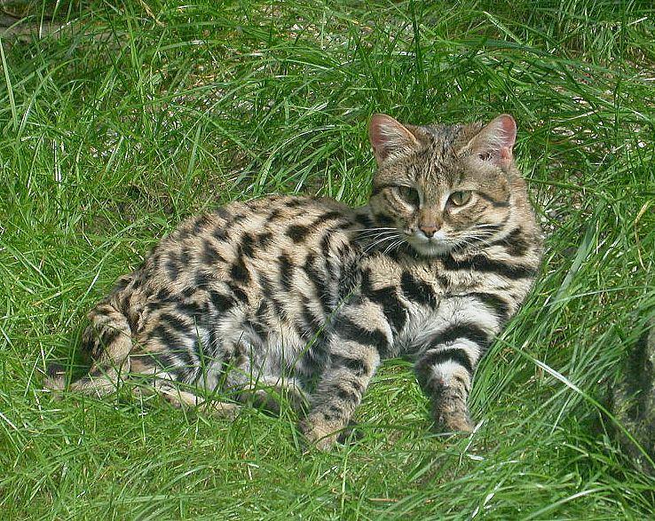 Juodakojė katė