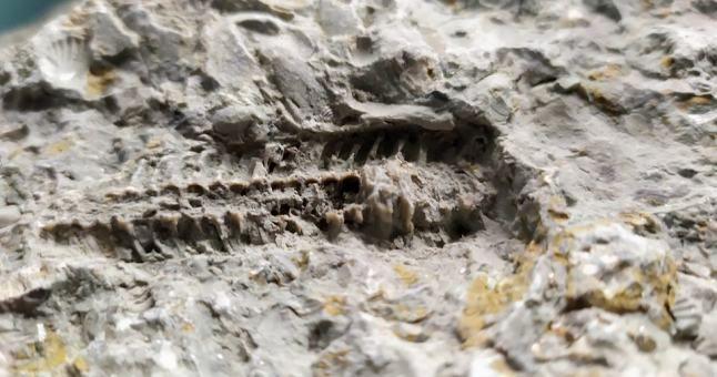 Fosilijos leidžia tyrinėti praeityje egzistavusius gyvūnus