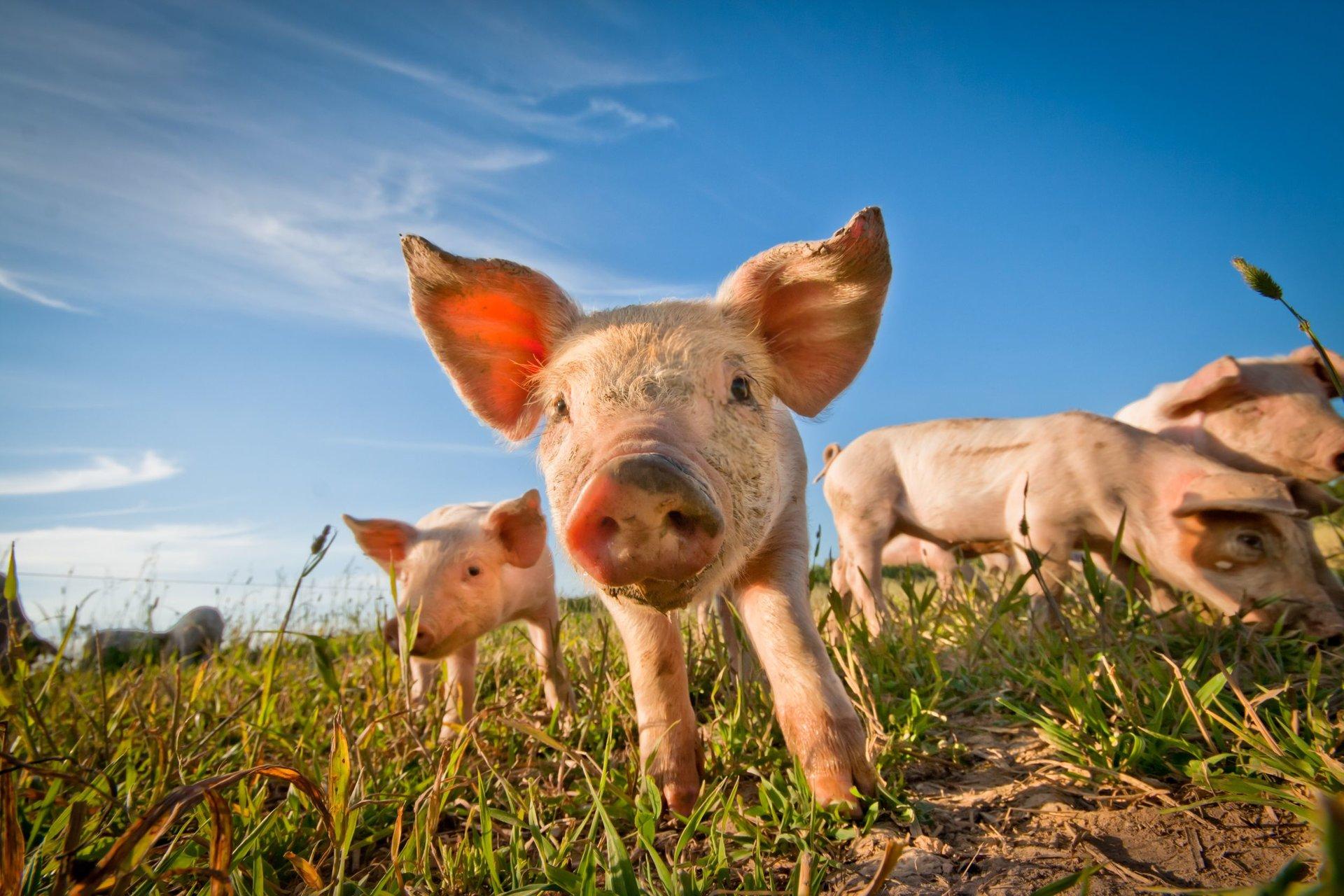 Kiaulių kepenų nauda sveikatai - Sultys