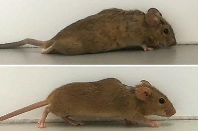 Dėl nugaros smegenų sutraiškymo paralyžiuota pelė vaikščioti pradėjo vos po vienos pelės
