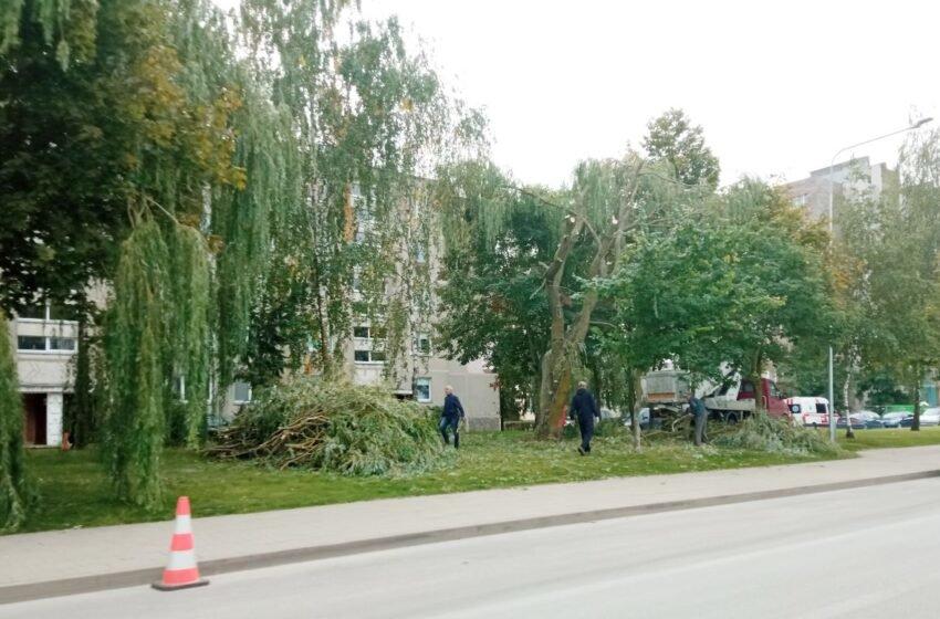 Pjaunami medžiai Kėdainiuose