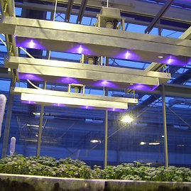 A.Brazaitytės nuotr./Kombinuotas aukšto slėgio natrio ir UV-A LED lempų apšvietimas padidina augalų antioksidacines savybes.