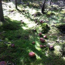 Skaitytojo D.R. nuotr./Baravykų rojus Švedijoje