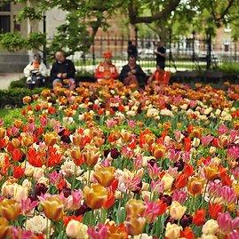 123rf.com /Žydinčios tulpės Amsterdame
