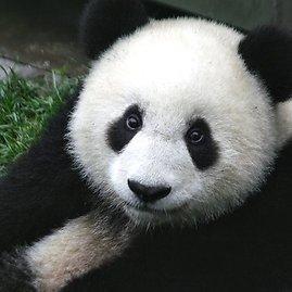 wikimedia.org nuotr./Didžiosios pandos jauniklis