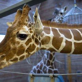 "AFP/""Scanpix"" nuotr./Žirafa Marius"