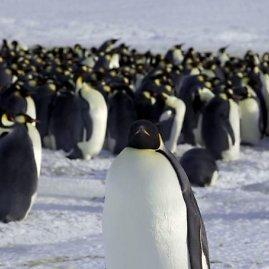 """Reuters""/""Scanpix"" nuotr./Imperatoriškieji pingvinai"