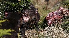 Tasmanijos velniai grįžo į savo gimtinę