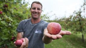 Agronomas: taisyklingai skinami ir sandėliuojami obuoliai džiugins iki pavasario