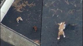 Lavos apsupti šunys La Palmos saloje negali išsivaduoti – evakuodamiesi šeimininkai juos pamiršo