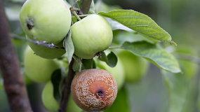 Specialistas sodininkus ragina atkreipti dėmesį į obelis ir slyvas