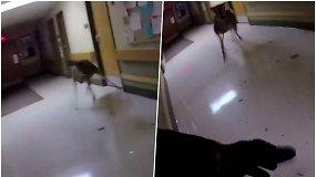 Į slaugos namus įsiveržė elnias – išdaužė stiklą ir blaškėsi po koridorių