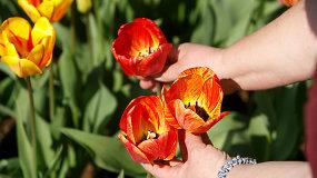 VDU botanikos sodo specialistės patarimai, kaip prižiūrėti tulpes