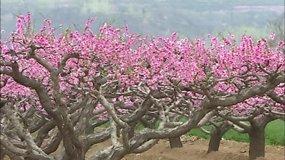 Kinai aikčioja iš nuostabos dėl laukinių abrikosų žiedų