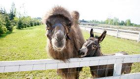 Geriausi draugai kupranugaris ir asilas visur keliauja kartu