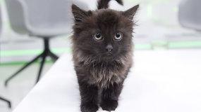 Po automobilio kapotu rasta katytė ieško namų: sužinokite, kodėl ji gavo Naktinės plėšikės vardą