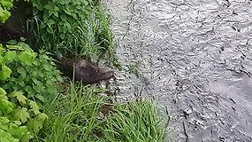 Skaitytojas užfiksavo mielą sostinės gyventoją – upelyje užkandžiaujantį bebrą