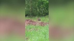 Nufilmavo Lietuvoje itin retą vaizdą: pievoje žaidė lokiukai
