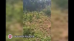 Sulaikyto vyro sodyboje pareigūnai rado auginamų kanapių