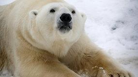 Baltosios meškos San Diege mėgaujasi 26 tonomis sniego