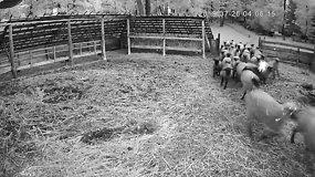 Nufilmuota Lazdijų rajone: vilkai sotūs, tik sveikos liko ne visos avys