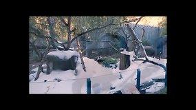 San Diego zoologijos sodo panda džiaugiasi dirbtiniu sniegu