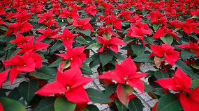 Kalėdų žvaigžde vadinamos puansetijos vis dažniau puošia lietuvių namus