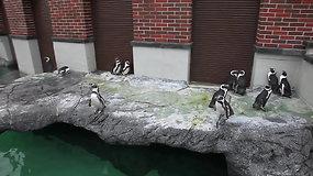 Karantinas Jūrų muziejuje: pingvinai išleisti pasivaikščioti
