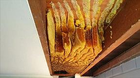 Australijoje namo lubose bitės susiuvo 50 kg medaus korių