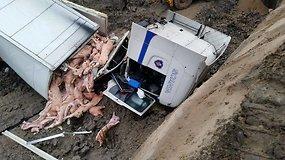 Iš lenko vilkiko išbyrėjo kiaulių skerdiena