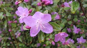 Hortenzijos ir rododendrai: kaip prižiūrėti, kad džiugintų žiedais