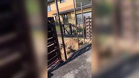 Gudeliuose nufilmuotas gyvūnų atbaidymo aparatas ir voljere įkaitu tapęs šuo