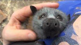 Pasiklausykite, kokį garsą leidžia veterinarės glostomas šikšnosparnio jauniklis?