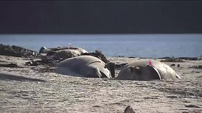 Čilės pakrantėje aptikti mįslingai nugaišę 124 delfinai