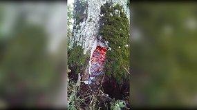 Nufilmavo unikalų vaizdą – po žaibo trenksmo užsiliepsnojo medžio kamienas