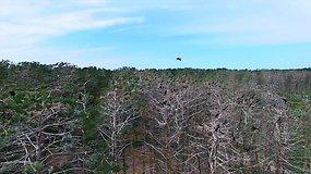 Kormoranų kolonija Kuršių nerijoje iš arti